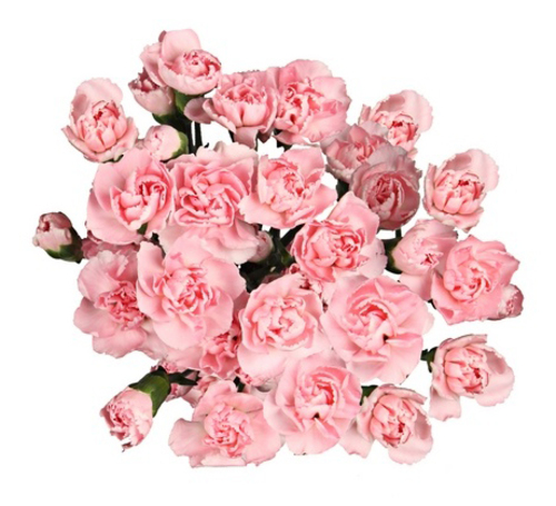Bouquet of 15 pink spray carnations