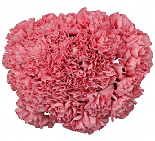 Bouquet of 15 Pink Carnations Bene