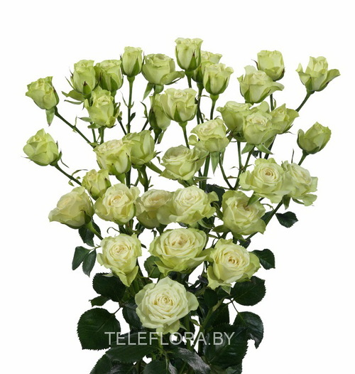 Round bouquet of 5 white spray roses