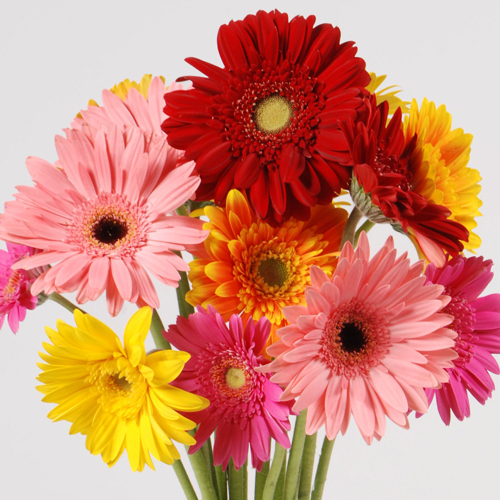 Bouquet 11 multicolored Gerberas