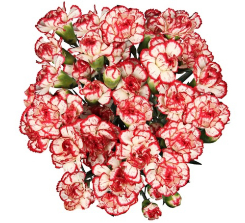Bouquet of 15 White Red Carnations Minueto