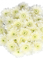 Bouquet of flowers 5 Spray White Сhrysanthemums