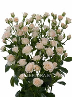 Round bouquet of 5 White Majolika spray roses