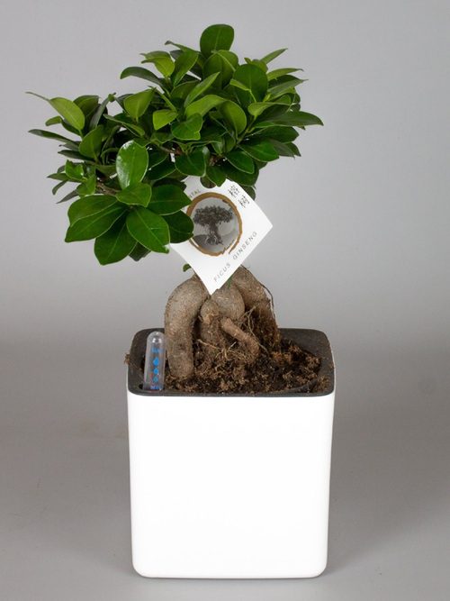 Potted plant Ficus Ginseng